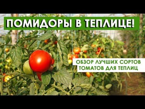 Помидоры для теплиц ! Обзор лучших сортов томатов!
