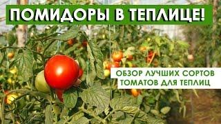 Помидоры для теплиц ! Обзор лучших сортов томатов!(Какие сегодня есть лучшие сорта томатов для теплиц? И чем они все отличаются друг от друга? Как подобрать..., 2016-08-06T05:34:53.000Z)