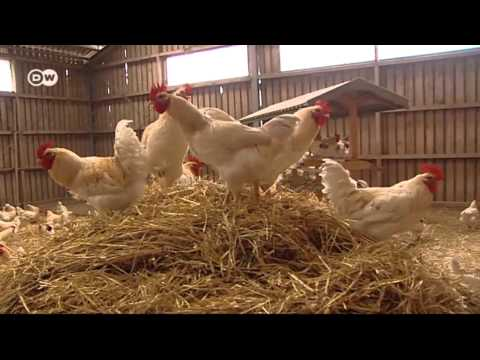 Price of Eggs - How to save male chicks | Made in Germany