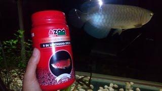Ikan Arwana Arowana makan pelet  Golden Pino Azoo