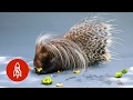 Meet the World's Largest Porcupine