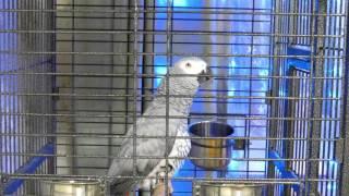 попугай жако говорит стихами и подражает животным
