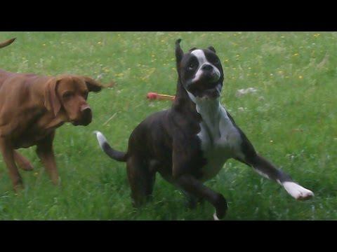 Boxer Babe Bridie & Hungarian Vizsla Archie.