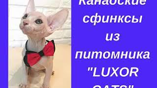 """Продаются котята Канадского сфинкса из питомника """"LUXOR CATS"""""""