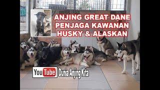 Gebby Si Great Dane Penjaga Kawanan Husky & Alaskan