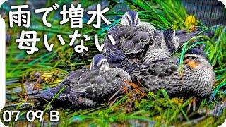0709B【置き去りカルガモ親子】雨で増水、母不在。迷子が復活したBb組。 鶴見川水系恩田川でコンデジ野鳥撮影。雨天撮影、 #身近な生き物語 #カルガモ親子 #雨天撮影