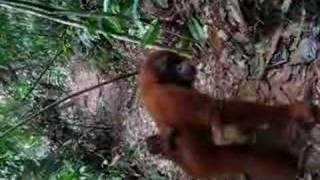 Indonesia Sumatera Oerang Oetan - outans