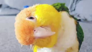 CAIQUE ME AWAY | Caique Bird | Caique Parrot | Super Cute and Funny Parrots Compilation 2018