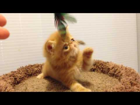 Exotic Shorthair Kittens by Exotic Dit-Dots