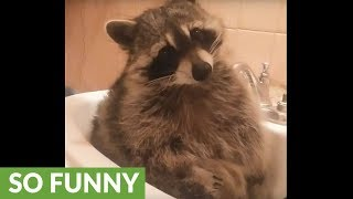 Grumpy raccoon is in a very bad mood