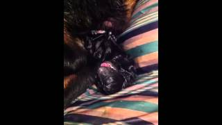 Rottweiler Giving Birth