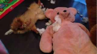 Персик порвал Медведя!