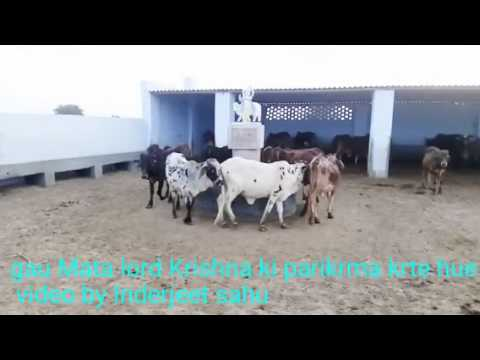 Cowes ( krishna song of cow danse )