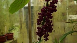 De Gympie Gympie, reuze giftige plant in de Hortus in Leiden