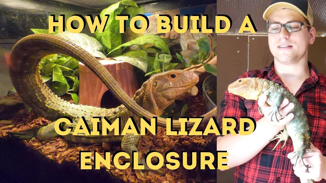 Caiman Lizard Enclosure Setup For a New hatchling