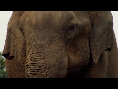 Elephant Mourning  | BBC Earth