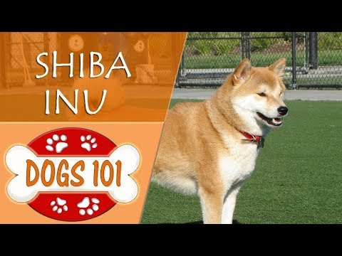 Dogs 101 - SHIBA INU - Top Dog Facts About the SHIBA INU
