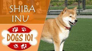 Dogs 101  SHIBA INU  Top Dog Facts About the SHIBA INU