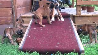 Boxer Puppies on a