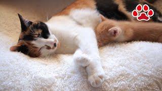 かわいい子猫まや。安心してください。すってませんよ【瀬戸のまや日記】I'm not sucking cat tits.Cute kitten Maya. thumbnail