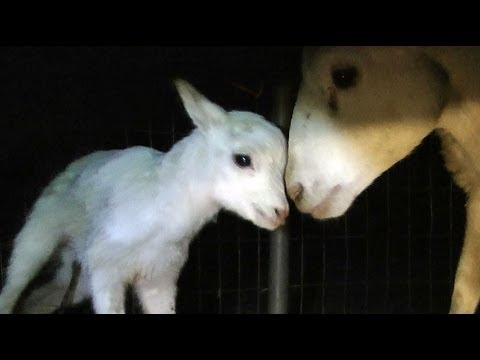 Adorable Newborn Lamb Learns to Walk... and Fall :)