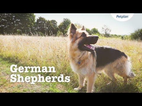 German Shepherd Puppies & Dogs   Breed Facts & Information   Petplan
