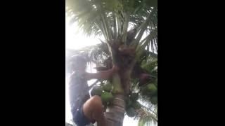 Video Video Lucu - Orang ini manjat pohon kelapa dan apa yang terjadi.. Lihat videonya download MP3, 3GP, MP4, WEBM, AVI, FLV Desember 2017