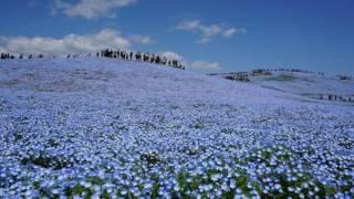 ひたち海浜公園 ネモフィラの丘 ネモフィラの丘 検索動画 6