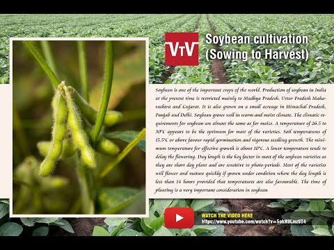 Soybean  cultivation
