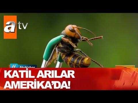 Katil arılar Amerika'da - Atv Haber 8 Mayıs 2020