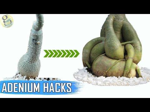 ADENIUM HACKS AND