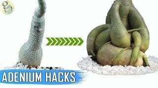 ADENIUM HACKS AND TIPS: Get a FAT Caudex | How To Make Adenium Caudex 5 Times Thicker?