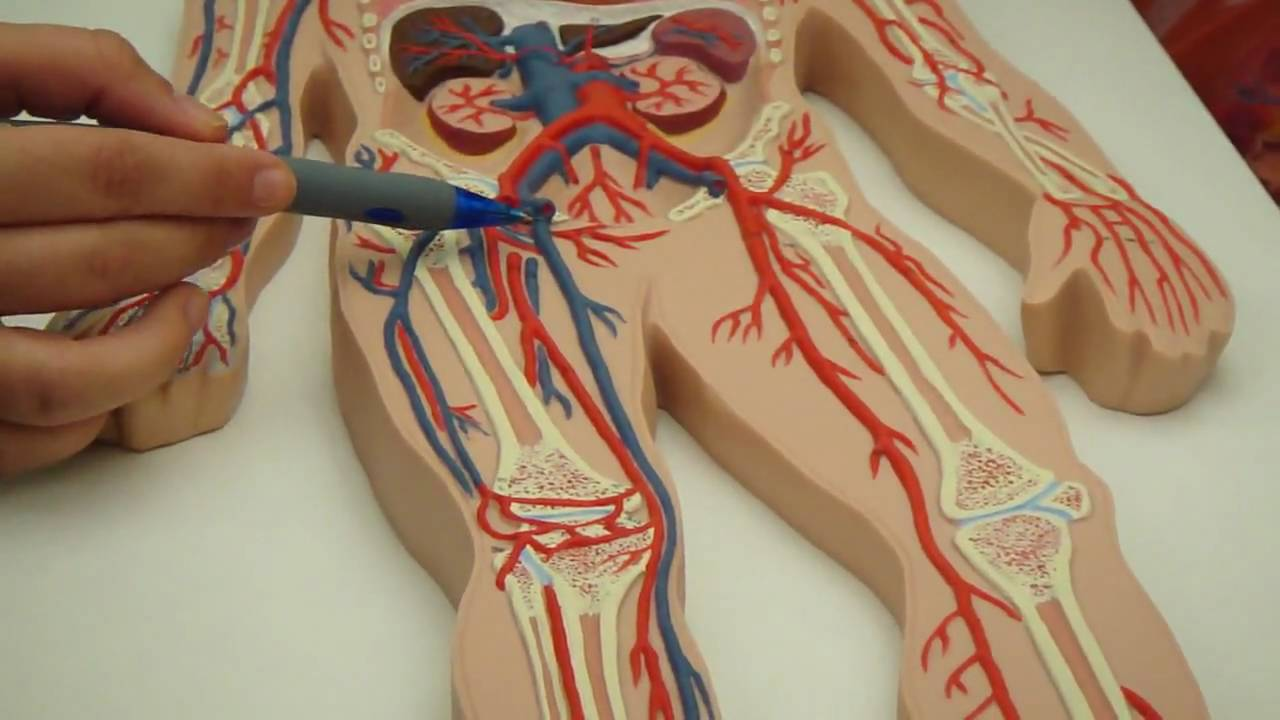 Arteries and veins of lower part of body UCF - YouTube