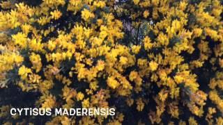 Cytisus maderensis. Garden Center online Costa Brava - Girona.(Cytisus maderensis. Garden Center online Costa Brava - Girona. Web: http://personalgardenshopper.es/, 2015-05-01T07:26:45.000Z)