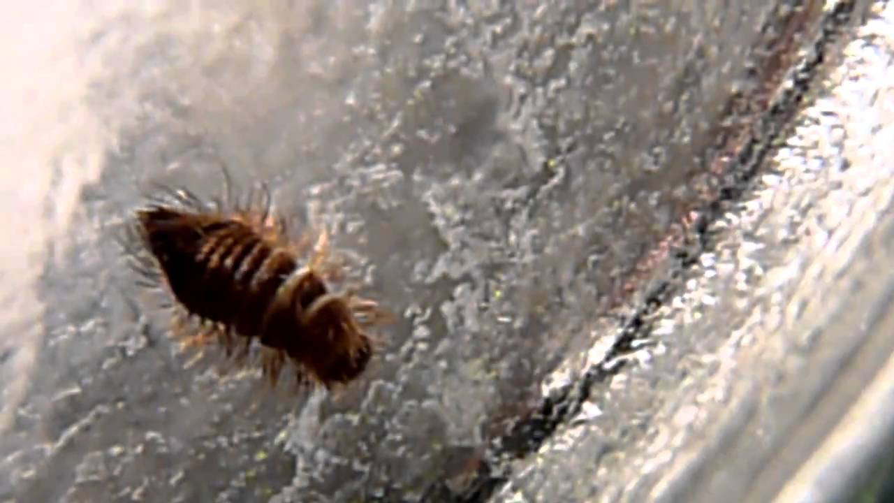 Wood Boring Beetle Larvae Youtube