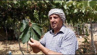البياض الدقيقي على شجرة العنب . Grape Powdery Mildew