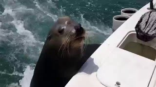 Sea Lion stops by for a snack on Cabo fishing boat