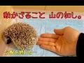 ハリネズミの慣らし方【さわりかた】How to practice the hedgehog