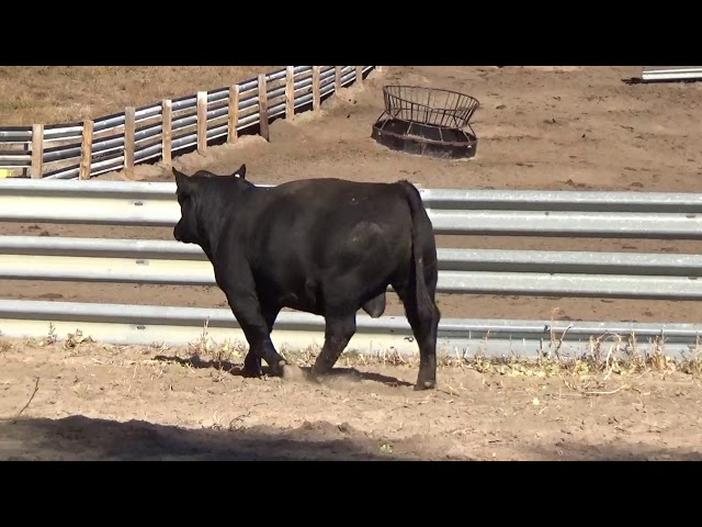 Connealy Angus Lot 37