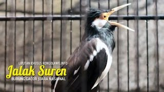 vuclip SUARA BURUNG - Jalak Suren Gacor Ngamuk Juara Nasional
