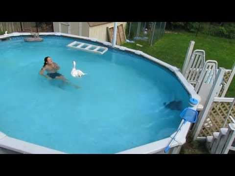 PET GOOSE, OLIVER, SWIMS IN SWIMMING POOL with HUMAN MOM