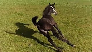 Sliding!🙈 Mathilde in the meadow for the first time. Friesian Horses