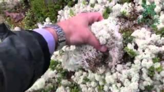 видео Мох ягель. Исландский мох для северного оленя. Продажа