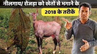 नीलगाय रोजड़ा को खेतों से भगाने के तरीके