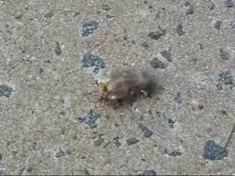 Dead Baby Chick Bird - YouTube