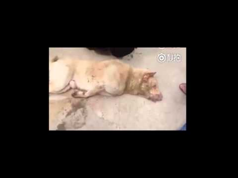 Liveleak TV -Dog thief caught by villagers in China