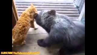смешное про кошек Видео  Кот против Медведя!