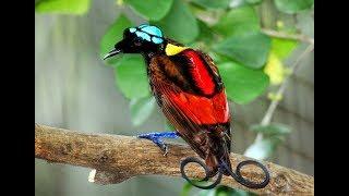 Секреты райских птиц. Гибриды. #DARWINews 7.1.3