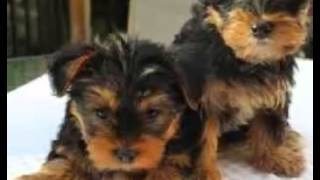 Sweet Gift Quality Yorkshire Terrier Puppies For Sale Text (970)-489-7680