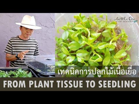 From plant tissue to seedling เทคนิคการปลูกไม้เนื้อเยื่อ